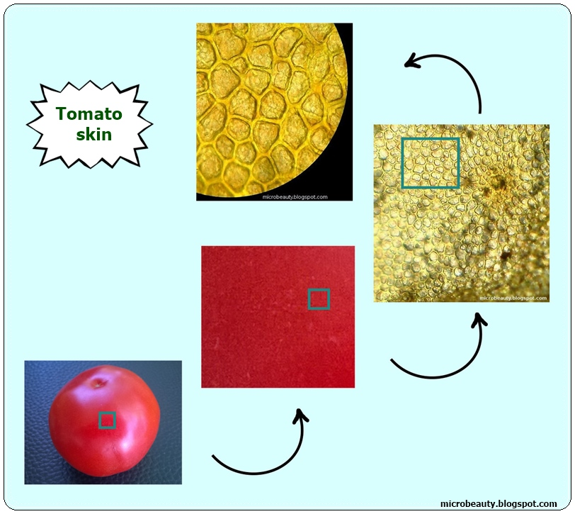 It is a photo of Tactueux Tomato Skin Cell Under Microscope Labeled