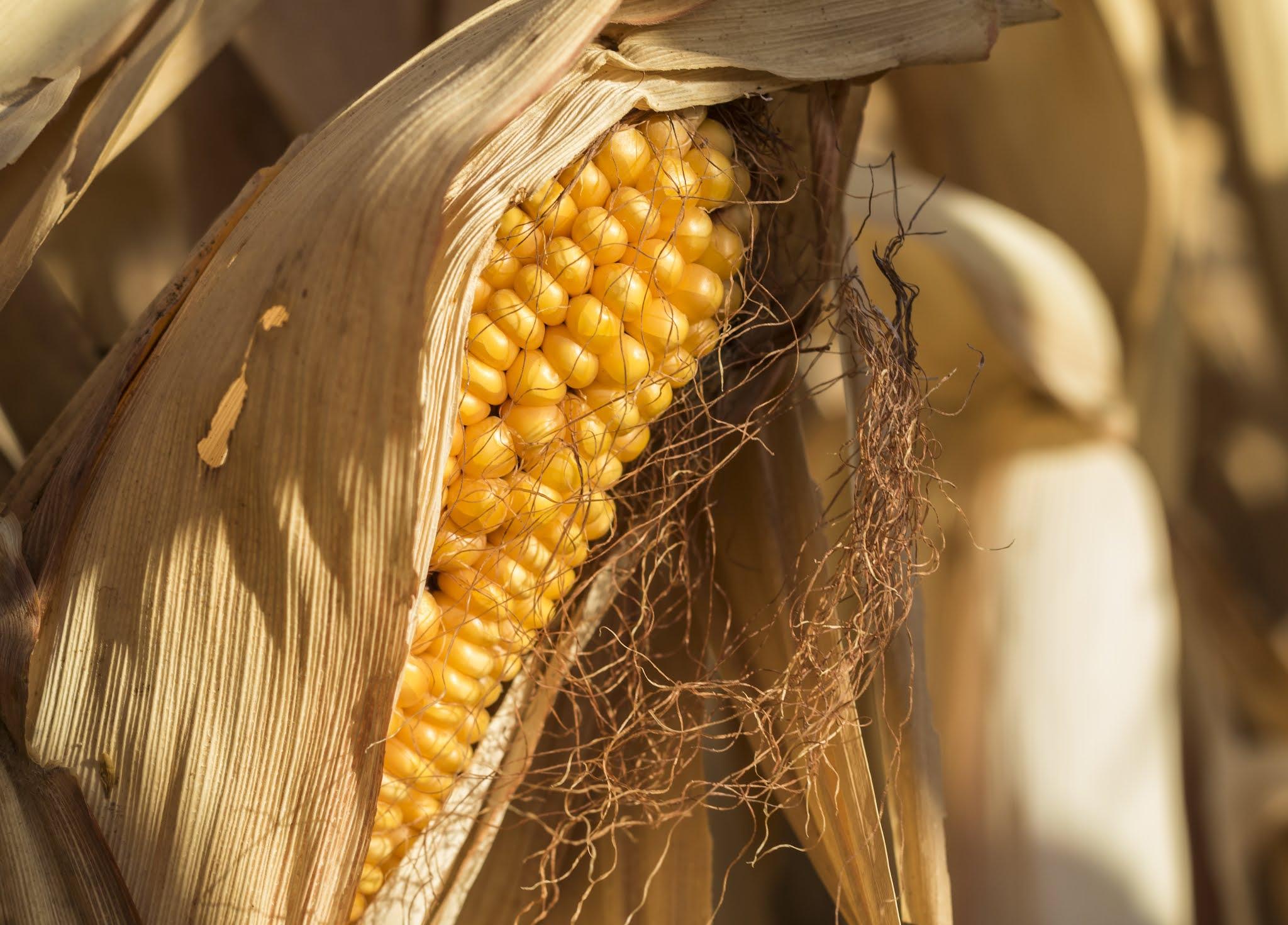 Tech Maíz, el proyecto que impulsará la producción sostenible de maíz con tecnologías de frontera