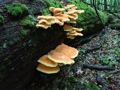 grzyby 2019, grzyby w maju, grzyby w Puszczy Niepołomickiej, żółciak siarkowyy, grzybówki, śluzowce, kisielnice
