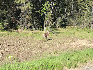 Doe a Deer . . . . . . One of Three We Spotted