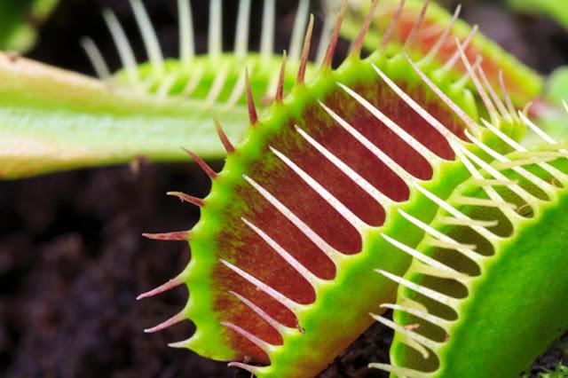 Tanaman Karnivora Pemakan Serangga