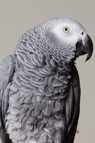 African Grey Parrots Lifespan – How Long Do African Grey Parrots Live