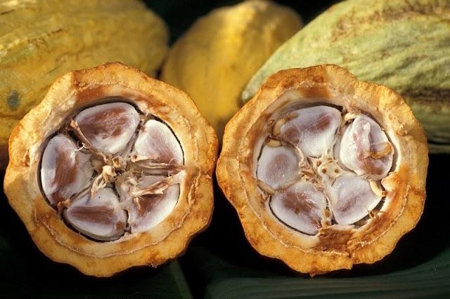 Analisis Dan Prospek Budidaya Cokelat Ditanah Air