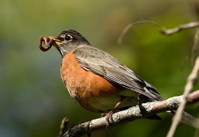 Robin Bird - Animals Starting With R
