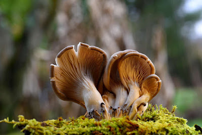 Oyster Mushroom Recipe