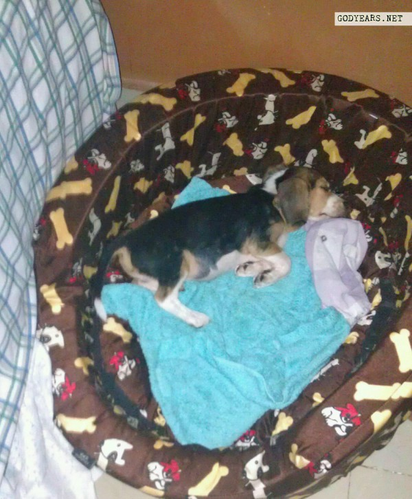 beagle puppy dog sleeping