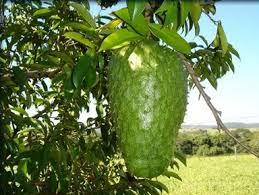 sirsak Mulai dari kulit, daging buah, akar, biji hingga akarnya dipercaya mengandung nutrisi serta senyawa yang baik buat pengobatan kanker dan penyakit lainnya.