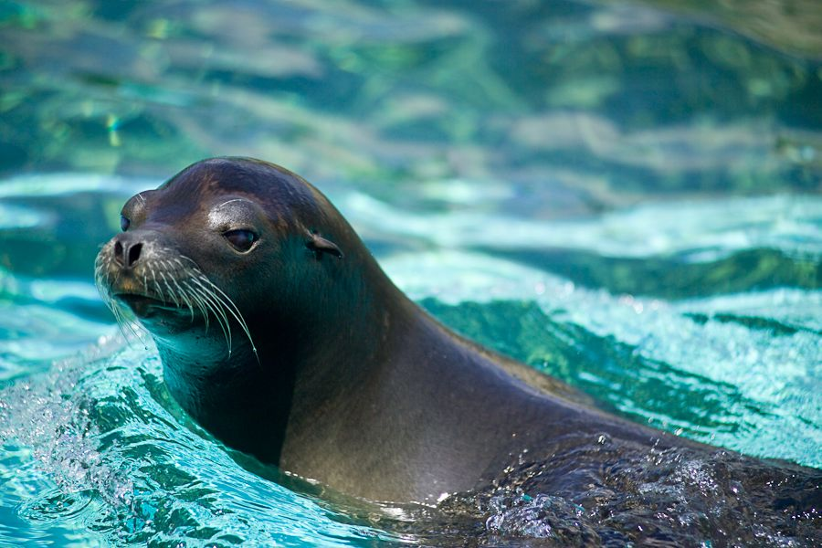 sea lion animal california animals wildlife ocean lions cute creatures baja different seal seals oceans species found