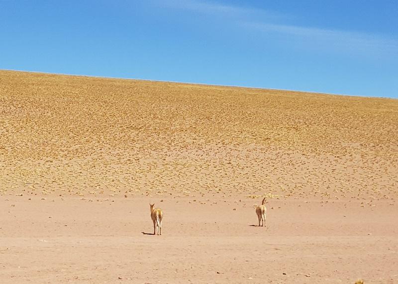 Vicunhas do Deserto do Atacama