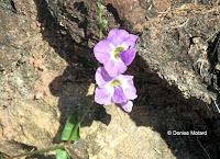 Lavender flowers, Makapu'u Point Lighthouse trail - Oahu, HI