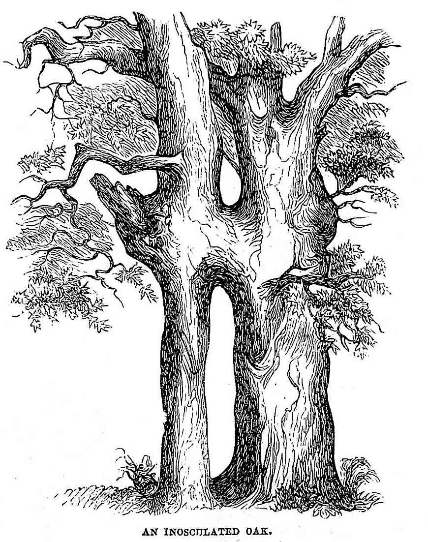 an 1845 illustration of an Inosculated Oak, two trees joined