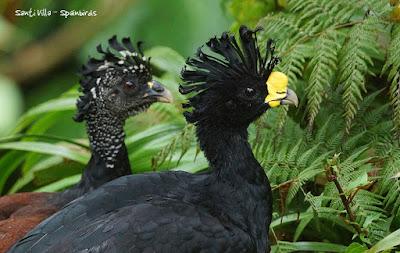 Pareja de pavón norteño (Crax rubra) en Costa Rica