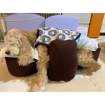 fisioterapia em cães acamados