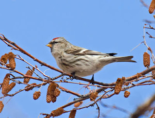 Photo of a Common Redpoll in an alder tree