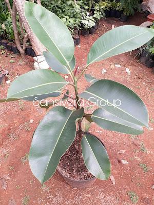 Ficus Elastica Indoor