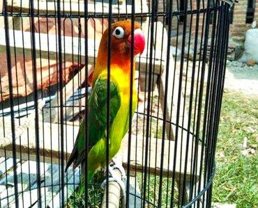 Pola Makanan Lovebird Biar Rajin Ngekek Informasi Burung