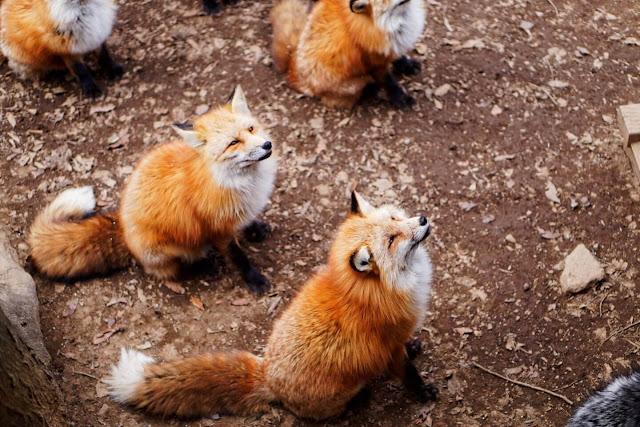 Làng Zao, tỉnh Miyagi, thuộc vùng cao nguyên dãy núi Zao (Nhật Bản), nổi tiếng là nơi sinh sống của 6 loài cáo hoang dã với hàng trăm cá thể. Ngôi làng được thành lập từ năm 1990, đến nay là điểm du lịch hút khách của tỉnh Miyagi.