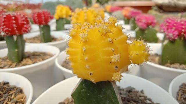 Kaktus Mini Hias Lobivia Oganmaru - munsyafandi.com