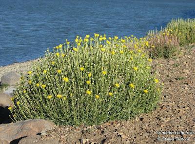 Botón de oro (Grindelia chiloensis)