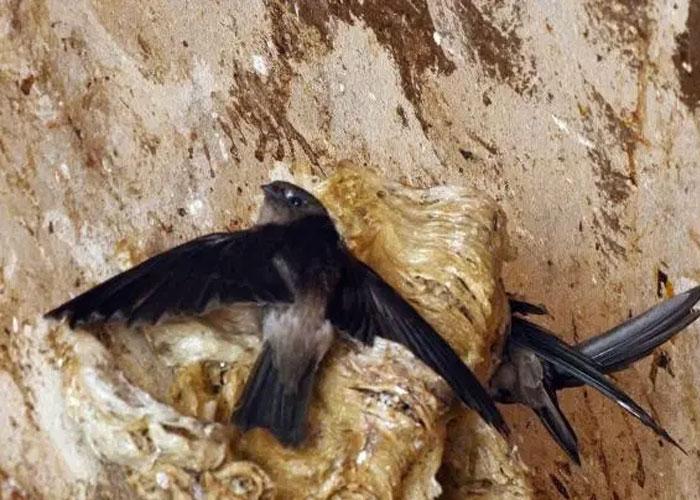 Chim yến thường làm tổ ở các hang động đá vôi.