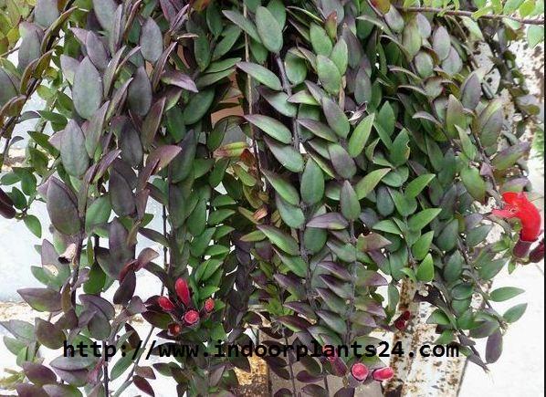 Aeschynanthus lobbianus Gesneriaceae
