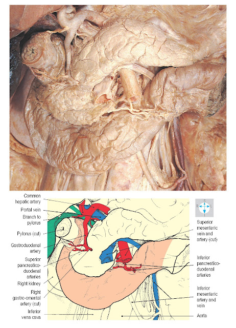 Arterial supply and some relations of the duodenum. The superior duodenum has been displaced laterally to reveal the gastroduodenal artery, bile duct and portal vein.