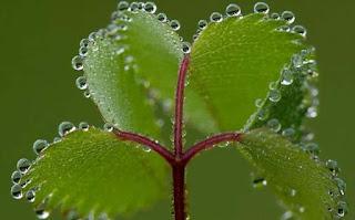 Air yang keluar dari hidatoda daun pada peristiwa gutasi
