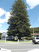 Huge conifer, Paihia - North Island, New Zealand