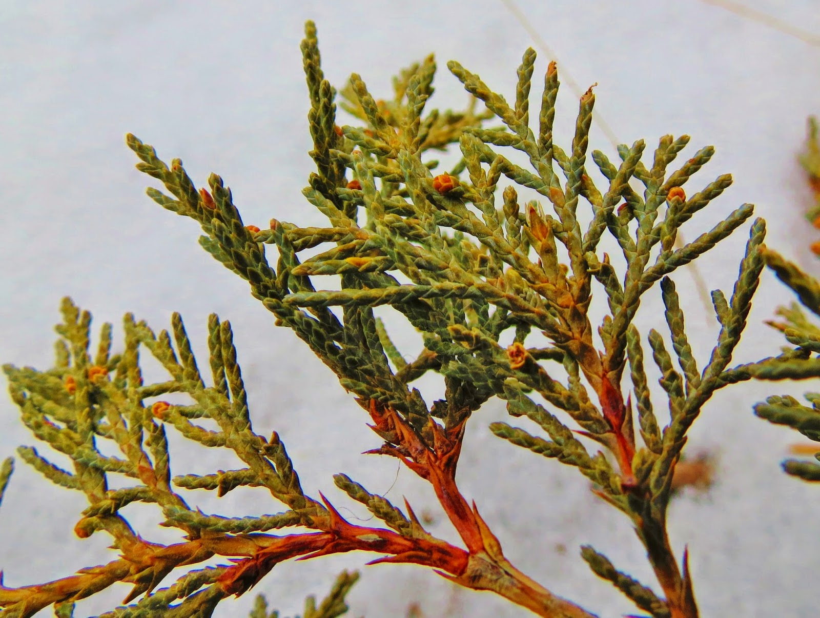 Flora Montana Rocky Mountain Juniper