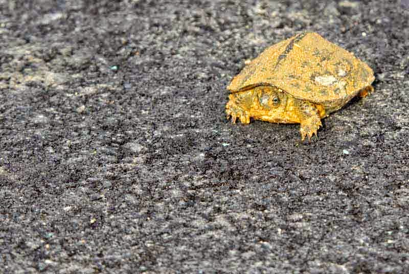 turtle, paved road