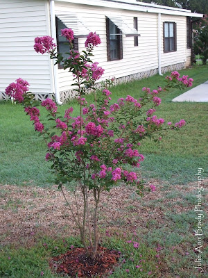 Miss Sandra Crape Myrtle with Fuchsia Blossoms at 3 months