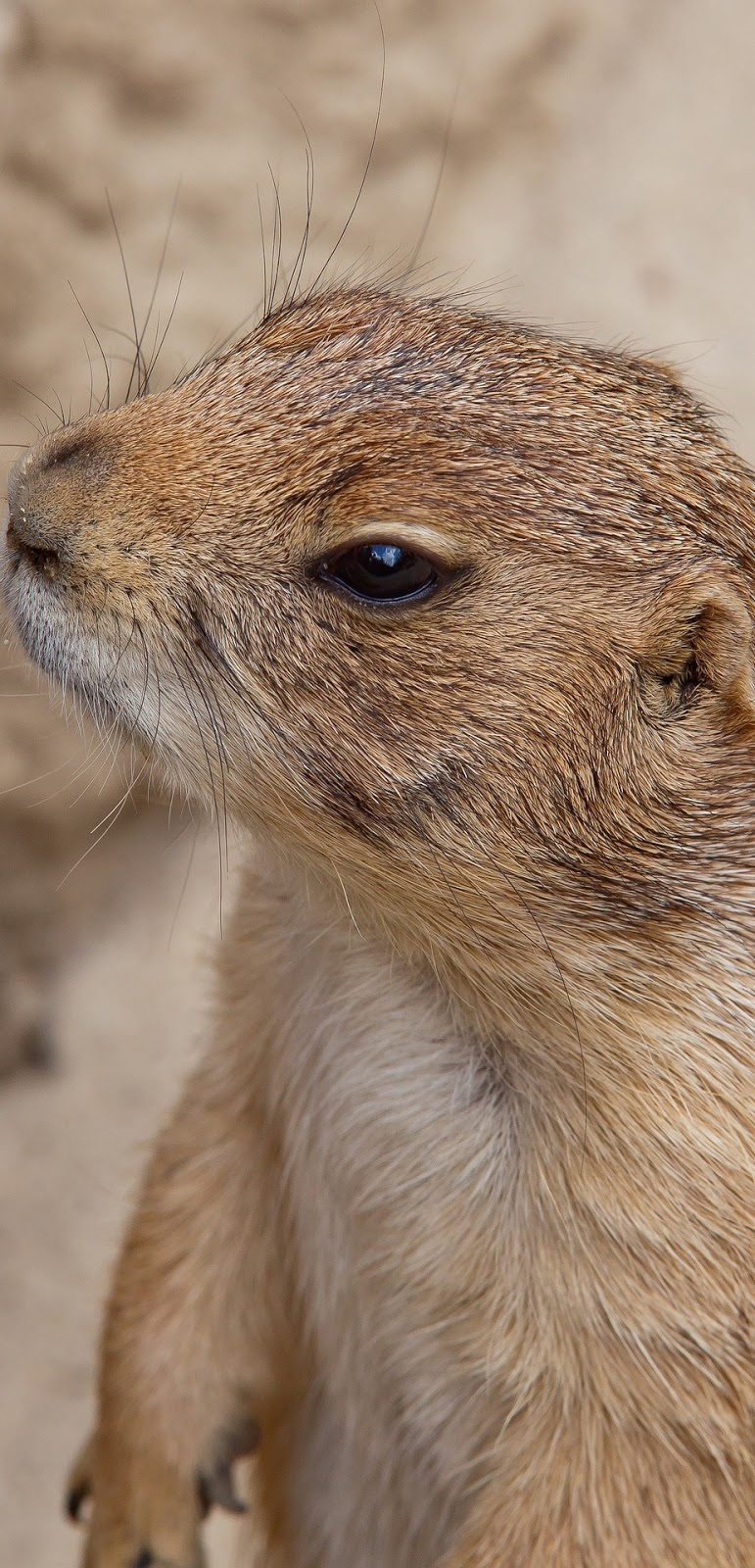 Picture of a marmot.