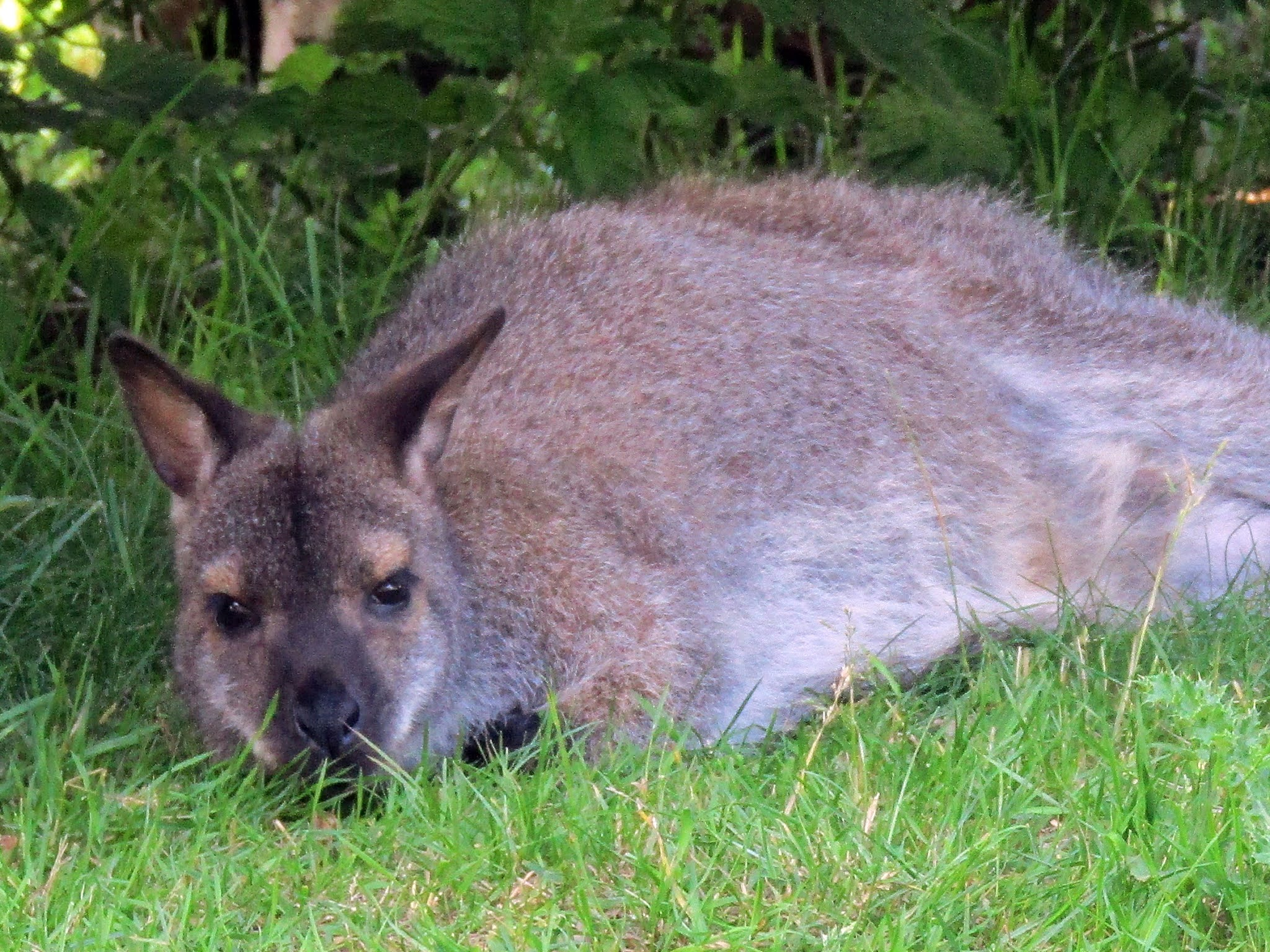 A photo of a wallaby at Whipsnade Zoo.