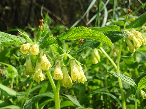 Consuelda menor (Symphytum tuberosum) flor amarilla