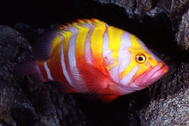 6 Spesis Ikan Tropika Termahal Di Dunia