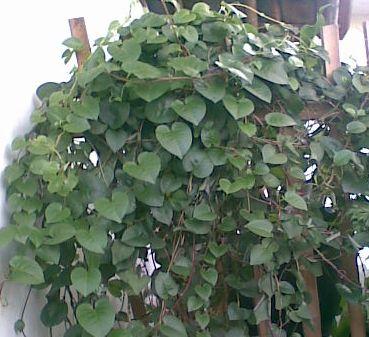 khasiat daun binahong untuk kesehatan