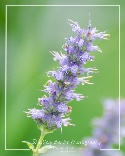 Giant Hyssop flowers Copyright © Shelley Banks, all rights reserved.