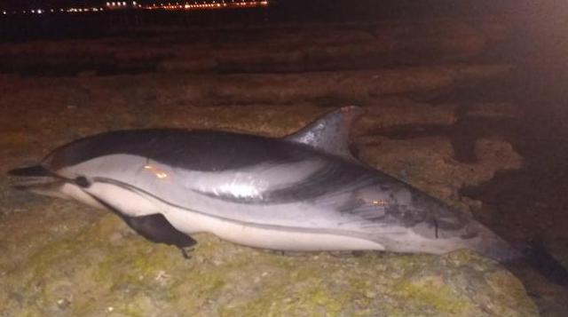 Un vecino halla el cadáver de un delfín listado en el frente litoral de San Roque, en Torrevieja