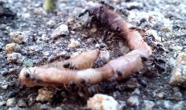 contoh organisme dekomposer