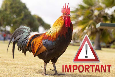 Import Ayam dari Luar Negeri