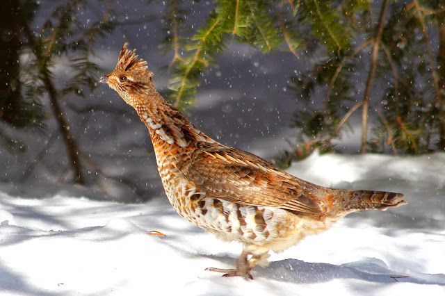 Grouse in winter