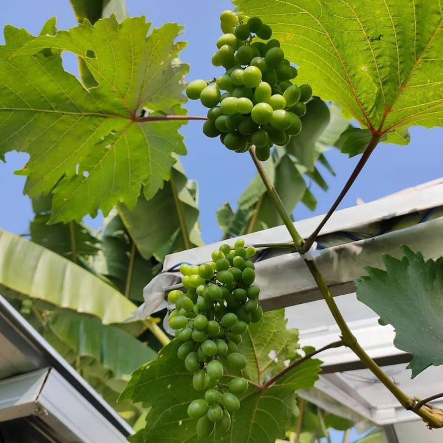 Bibit anggur harold VALID Blitar