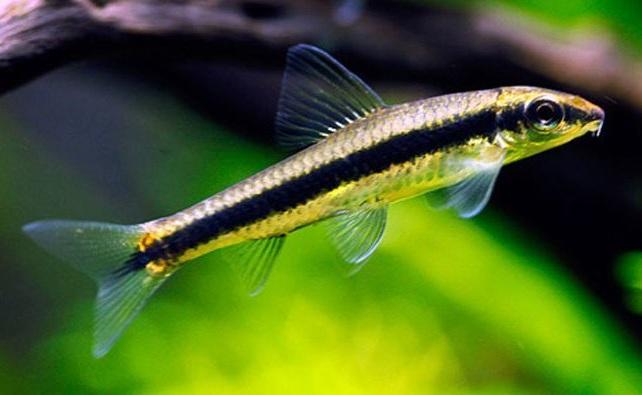 Ikan Pemakan Alga Aquascape Terbaik