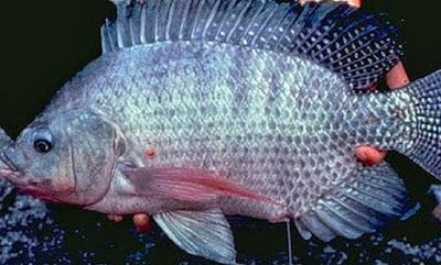 Memancing ialah kegiatan yang menyenangkan dan mampu dilakukan oleh siapa saja tanpa memb Lihat Cara Membuat Umpan Ikan Cirata Racikan Jitu Ampuh