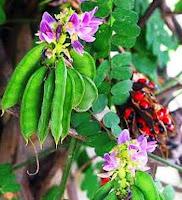 Bunga saga