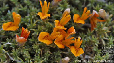 Anarthrophyllum burkartii