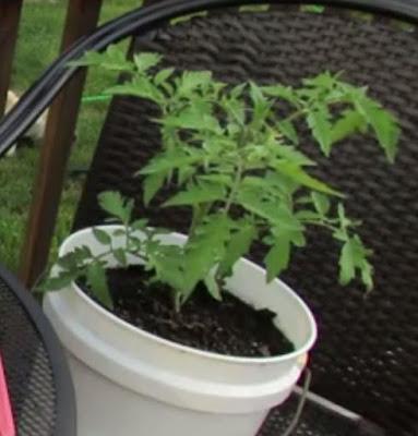 tips menanam tomat dalam pot