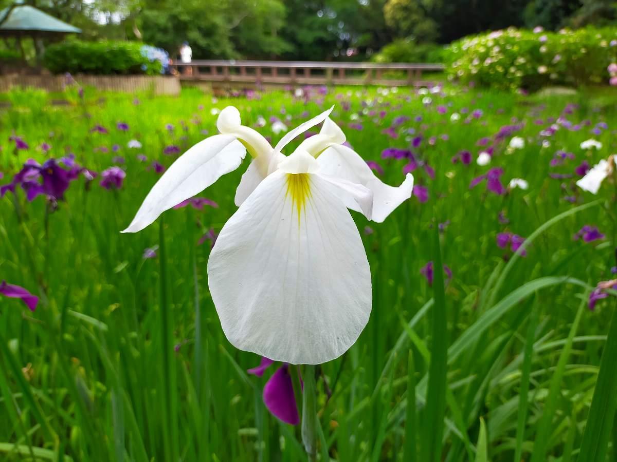 白の菖蒲の花のアップ。