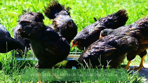 Pakan Ayam KUB Pedaging dan Ayam KUB Petelur