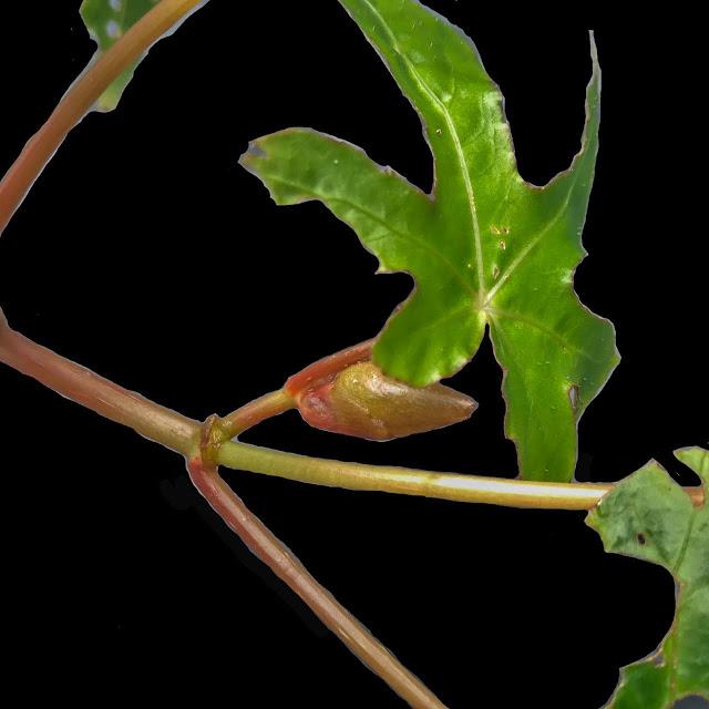 Begonia langbianensis Baker f.,